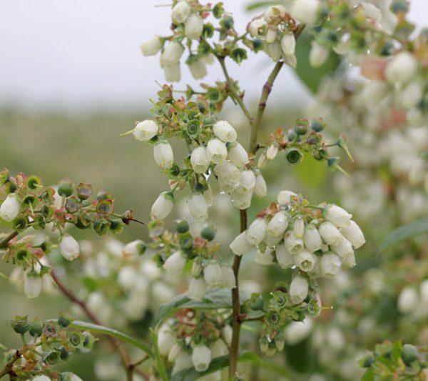 Цветы голубики Блюкроп