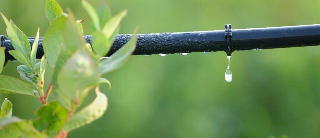 Подкормка голубики и температурный стресс растений