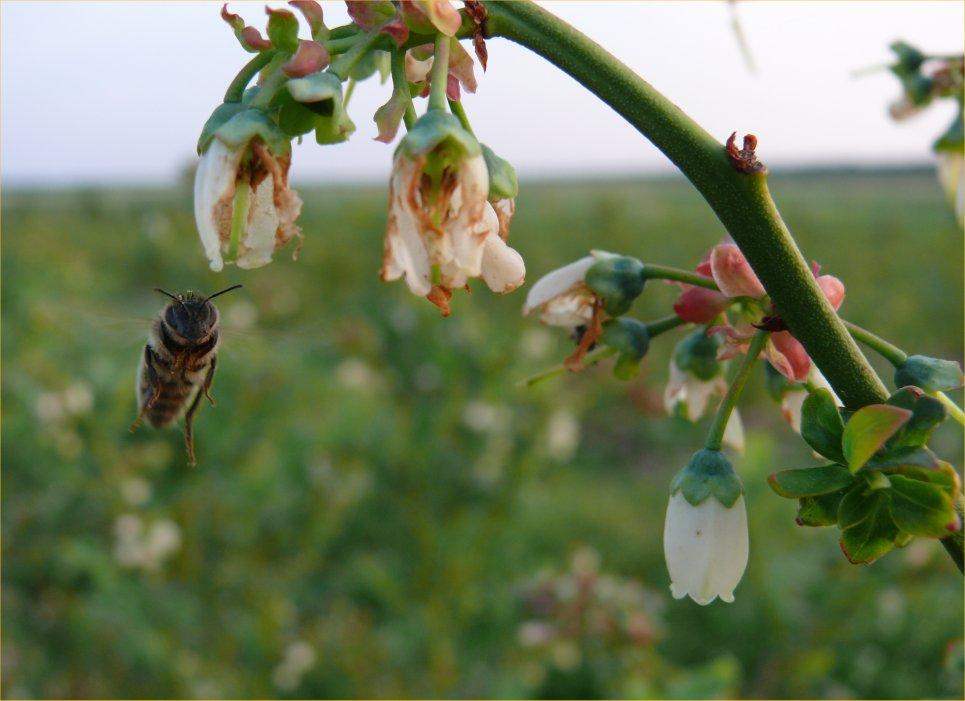 Пчелы и голубика