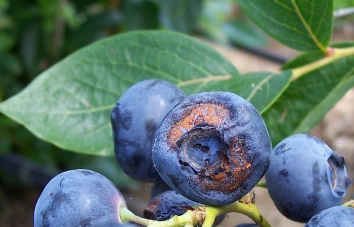 Антракноз - на этой ягоде голубики сорта Спартан.