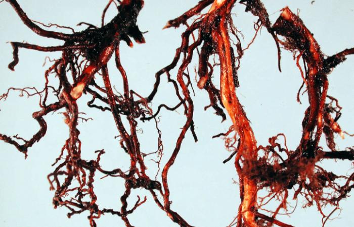 Фитофторная гниль корней голубики