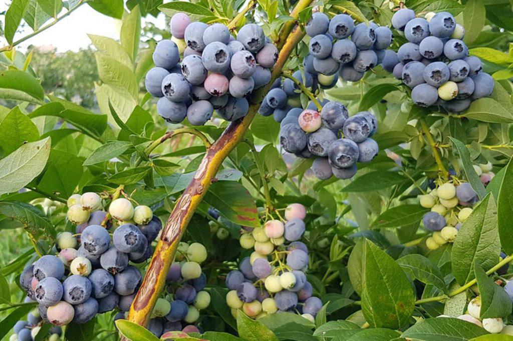 Польза голубики: 10 научных фактов о полезных ягодах