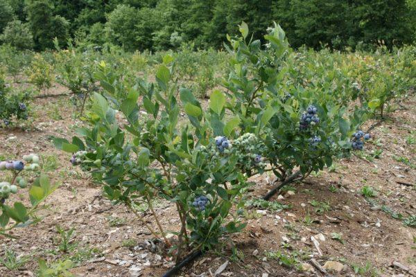 Голубика на плантации