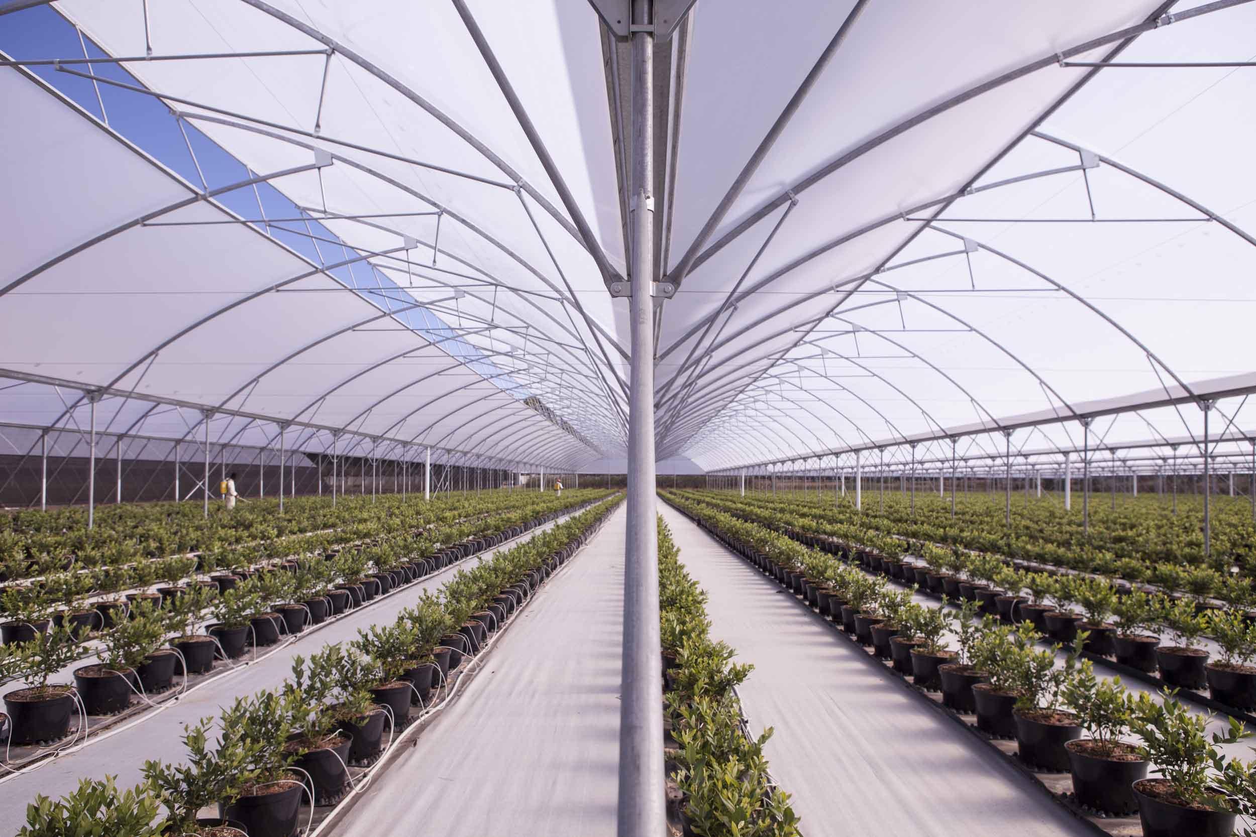 Контейнерное выращивание голубики в теплице