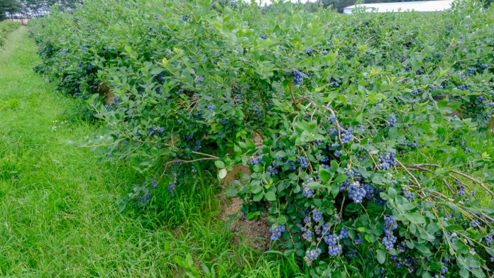 Травы - лучше удобрений для выращивания эко голубики