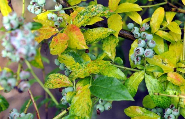 Красная пятнистость листьев голубики