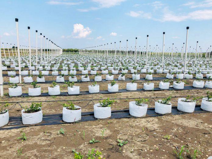Сколько голубики помещается на один на гектар?