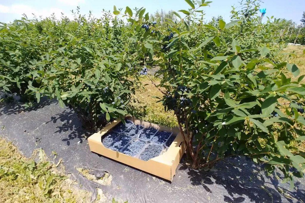 Жимолость - перспективы выращивания нишевой культуры