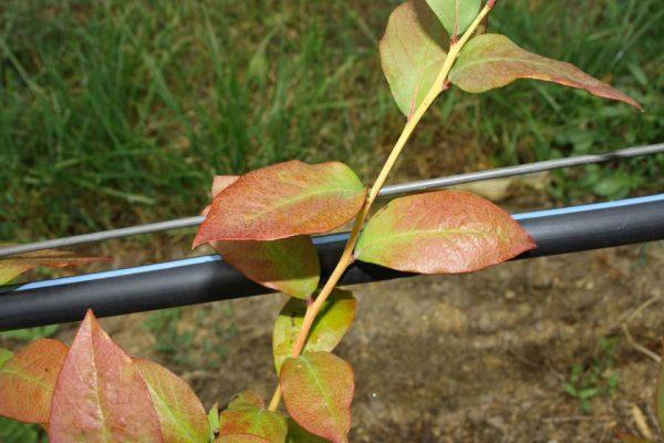 Покраснение на листьях голубики