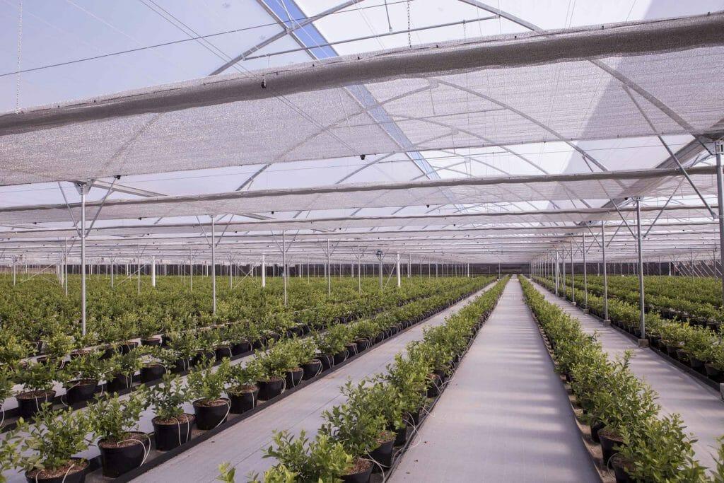 Промышленное выращивание голубики в теплице