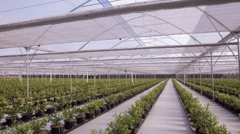 Промышленная теплица для выращивания голубики