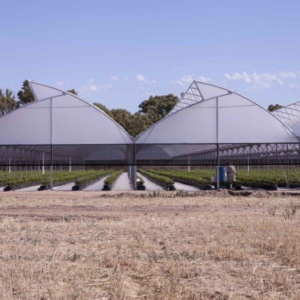 Выращивание голубики в теплице круглый год