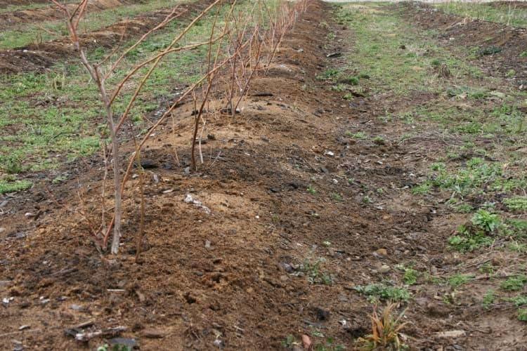 Закладка плантации голубики