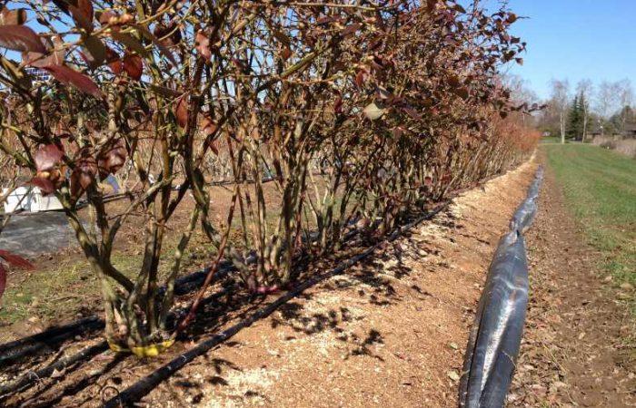 Альтернативные способы выращивания голубики