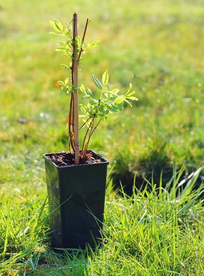 Выращивание жимолости - посадка, уход, популярные сорта