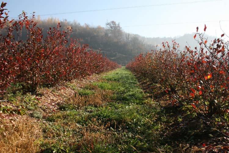 Листья голубики осенью