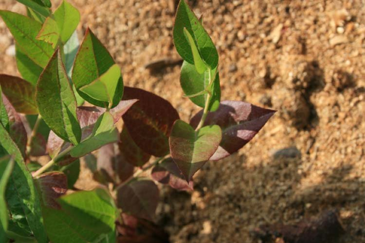 Недостаток азота на листьях голубики