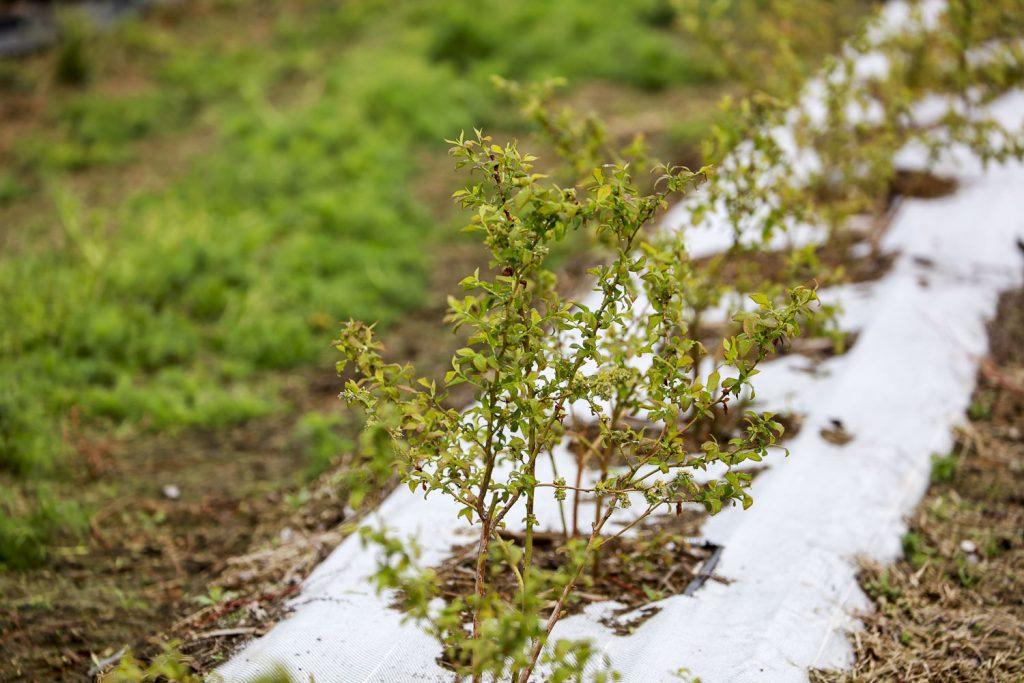 Весной у голубики наблюдается обесцвечивание листьев из-за трудностей с усвоением определенных питательных веществ
