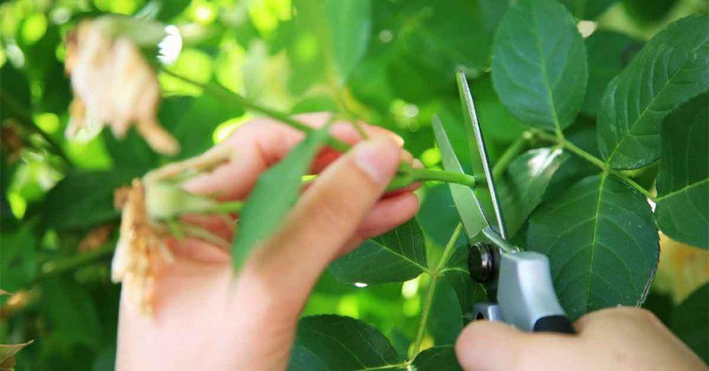 Размножение голубики зелеными и одревесневшими черенками