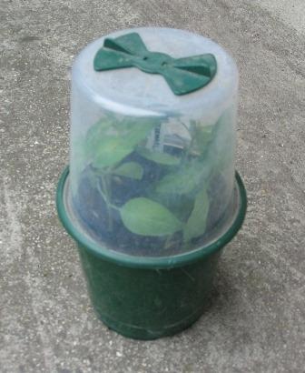 Размножение голубики зелеными черенками.