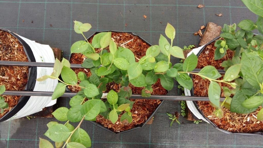 Выращивание голубики в контейнере: основные плюсы и минусы технологии