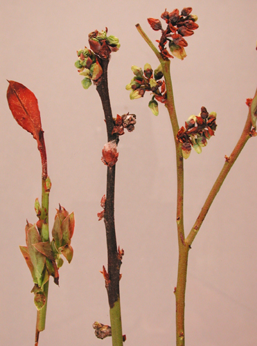 Бактериальный рак может возникнуть на листьях, побегах и цветках