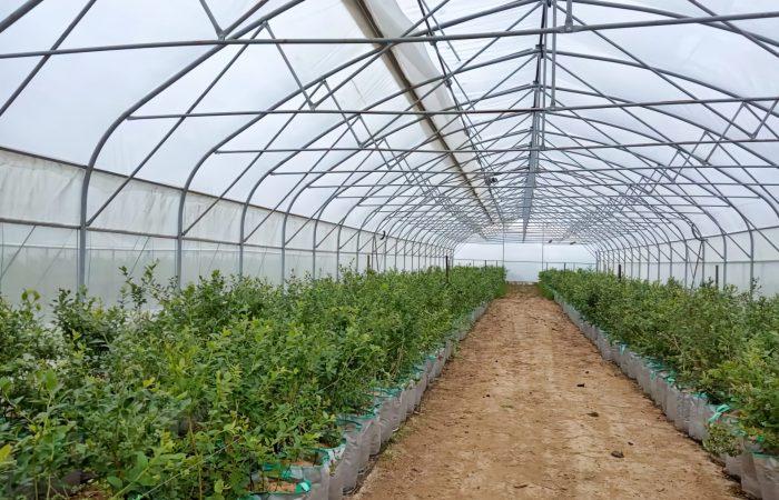 Выращивание голубики в теплице