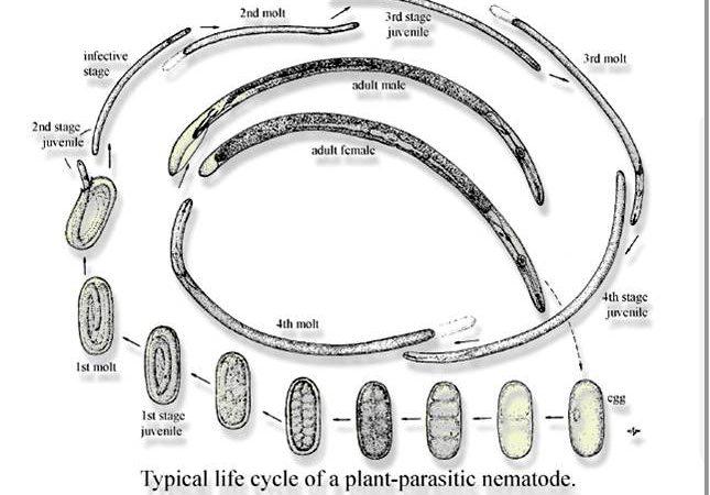 Нематоды - как распознать повреждение растений