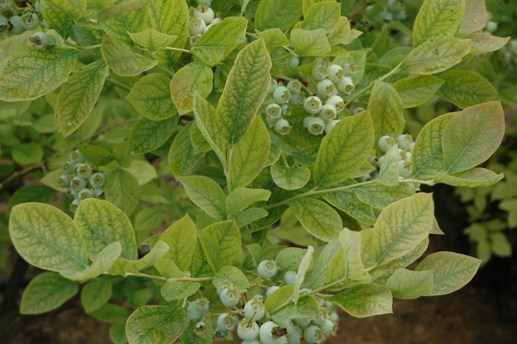 Значение pH почвы для голубики: симптомы дефицита железа