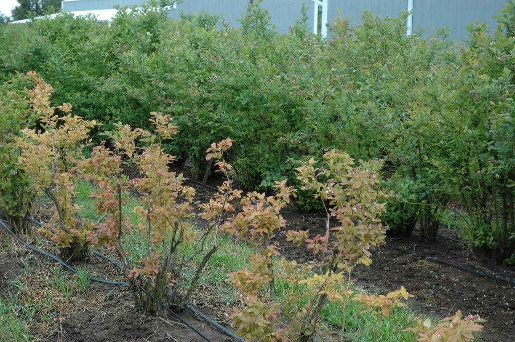 Ряд пожелтевших растений на переднем плане показывает высокий pH почвы, в то время как те, что на заднем плане, имеют более низкий pH