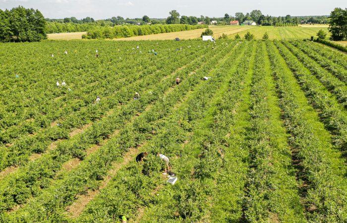 5 важных условий для успешного промышленного выращивания голубики