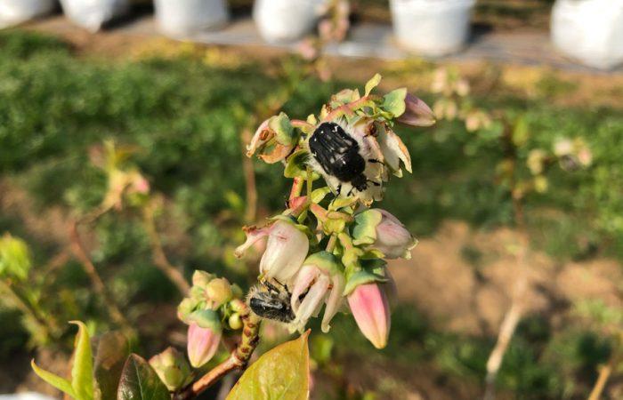 Аленка мохнатая Tropinota hirta (Poda)