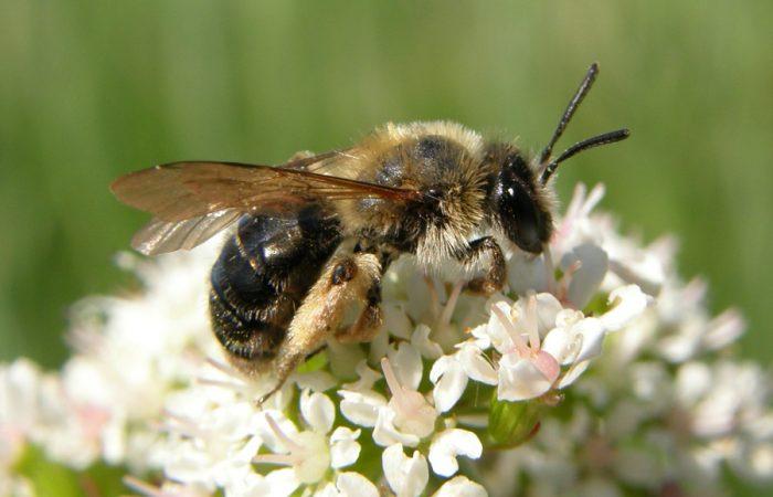 Мелкие дикие виды пчел, принадлежащих к роду Andrena