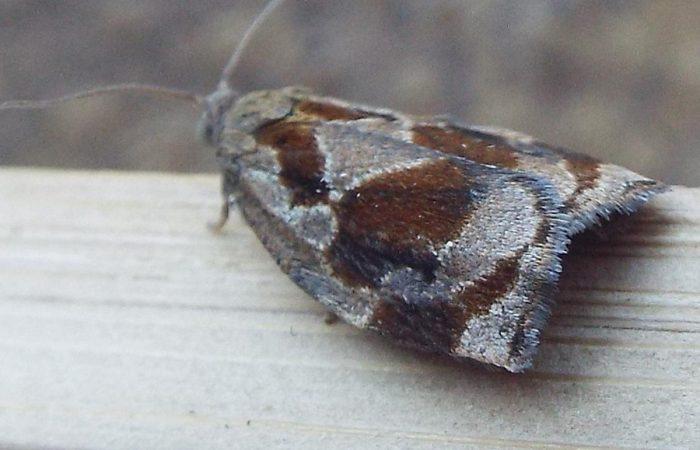 Розанная листовертка Archips rosana L.