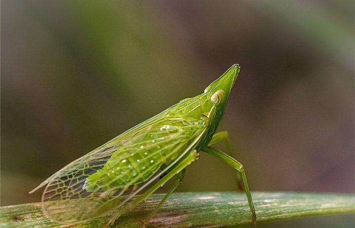 Цикадка Scaphytopius magdalensis (Provancher)
