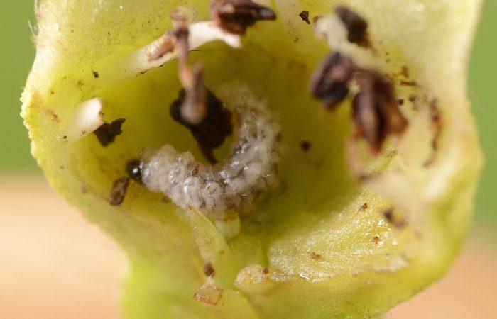 Цветоед яблоневый (Anthonomus pomorum L.)